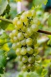 As uvas para vinho brancas riesling, aprontam-se para colher e fazendo o vinho Imagens de Stock