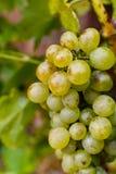 As uvas para vinho brancas riesling, aprontam-se para colher e fazendo o vinho Imagens de Stock Royalty Free