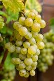 As uvas para vinho brancas riesling, aprontam-se para colher e fazendo o vinho Foto de Stock