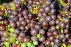 As uvas pretas fecham-se acima para um fundo Foto de Stock