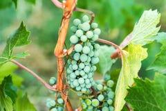 As uvas verdes e as folhas da videira fecham-se acima Imagem de Stock