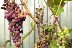 As uvas vermelhas amadurecem na videira Imagens de Stock