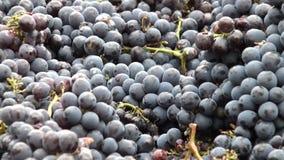 As uvas zumbiram para fora vídeos de arquivo