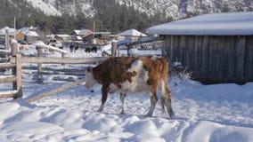 As vacas andam livremente em torno da vila, obtêm o alimento sob a neve Movimento lento vídeos de arquivo