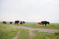 As vacas atravessam na estrada o campo Imagem de Stock Royalty Free