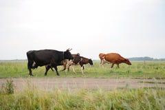 As vacas atravessam na estrada o campo Fotos de Stock Royalty Free