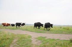 As vacas atravessam na estrada o campo Fotografia de Stock Royalty Free