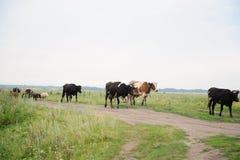 As vacas atravessam na estrada o campo Imagens de Stock Royalty Free