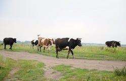 As vacas atravessam na estrada o campo Foto de Stock Royalty Free