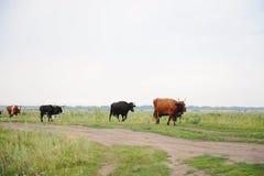 As vacas atravessam na estrada o campo Imagem de Stock