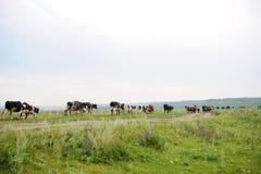 As vacas atravessam na estrada o campo Foto de Stock