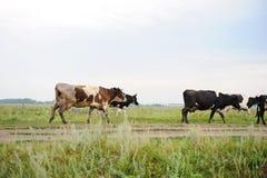 As vacas atravessam na estrada o campo Fotos de Stock