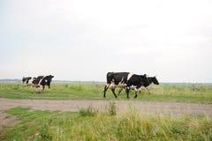 As vacas atravessam na estrada o campo Imagens de Stock