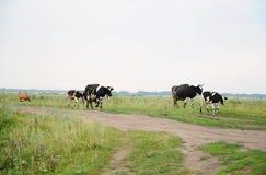 As vacas atravessam na estrada o campo Fotografia de Stock