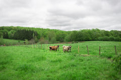 As vacas autênticas estão pastando em um prado no campo Foto de Stock