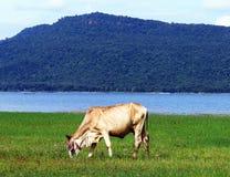as vacas comem o contexto montanhoso da grama foto de stock