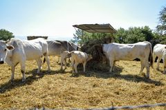As vacas comem o feno dentro da cerca na exploração agrícola fotografia de stock royalty free