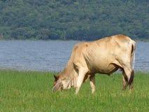 As vacas comem o grama-rio - contexto montanhoso fotos de stock royalty free