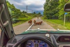 As vacas da região de Mtskheta-Mtianeti, Geórgia fotografia de stock royalty free