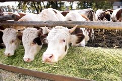 As vacas de leiteria comem a ensilagem em uma exploração agrícola Fotos de Stock Royalty Free