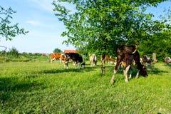 As vacas do puro-sangue estão pastando a grama, em um pasto, prado Imagens de Stock Royalty Free