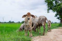As vacas do rebanho no campo param, o relógio antes de vacas, o c branco Imagem de Stock