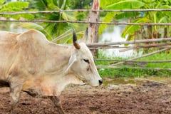 As vacas do rebanho no campo param, o relógio antes de vacas, o c branco Fotos de Stock Royalty Free
