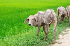 As vacas do rebanho no campo param, o relógio antes de vacas, o c branco Imagens de Stock Royalty Free