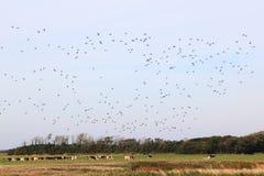 As vacas e o voo ducks na ilha de Ameland, Holanda Fotografia de Stock Royalty Free