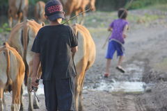 As vacas e os vaqueiros Imagens de Stock