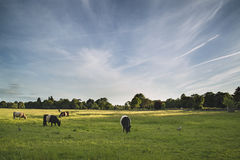 As vacas em campos de exploração agrícola ajardinam na noite do verão em Inglaterra Imagens de Stock