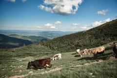 As vacas estão alimentando altamente nas montanhas imagens de stock royalty free