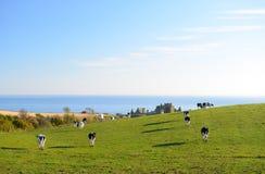 As vacas estão andando para pastar Imagem de Stock Royalty Free