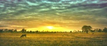 As vacas estão comendo a grama para o prazer nos campos no nascer do sol e no céu bonito foto de stock