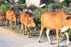 As vacas estão em sua maneira aos pastos Fotos de Stock Royalty Free