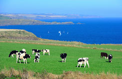 As vacas estão no prado Imagens de Stock Royalty Free