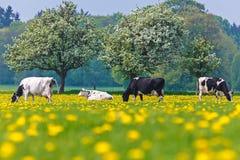 As vacas holandesas em um dente-de-leão encheram o prado na primavera Fotos de Stock Royalty Free