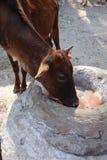 As vacas indianas lambem um cristal Himalaia de sal Foto de Stock Royalty Free