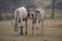 As vacas indianas pastam Imagem de Stock