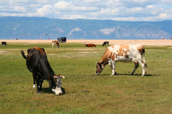As vacas no console de Olkhon. Fotografia de Stock Royalty Free