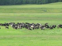 As vacas pastam Imagem de Stock