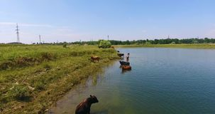 As vacas pastam em um prado video estoque