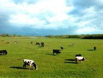 As vacas pastam em um prado imagens de stock