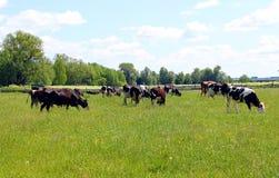 As vacas pastam em um prado em um dia quente imagens de stock