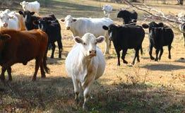 As vacas pastam na grama e em verdes frondosos em um pasto Imagens de Stock