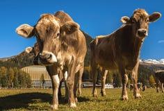 As vacas pastam no campo em Davos em Suíça no fundo dos cumes suíços Davos Switzerland Fotos de Stock Royalty Free