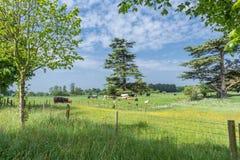 As vacas pastam no campo inglês cênico Fotografia de Stock Royalty Free