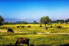 As vacas pastam no prado no fim do verão contra o contexto das montanhas em Ásia central foto de stock