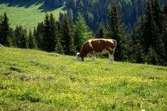 As vacas pastam no prado nos cumes Fotografia de Stock