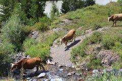As vacas pastam perto de um rio em montanhas de Altai Foto de Stock Royalty Free